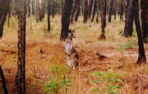 Roo at Undara